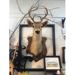 1946 Vintage Deer Taxidermy